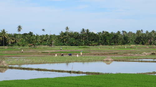 Rice fields near Mandiri